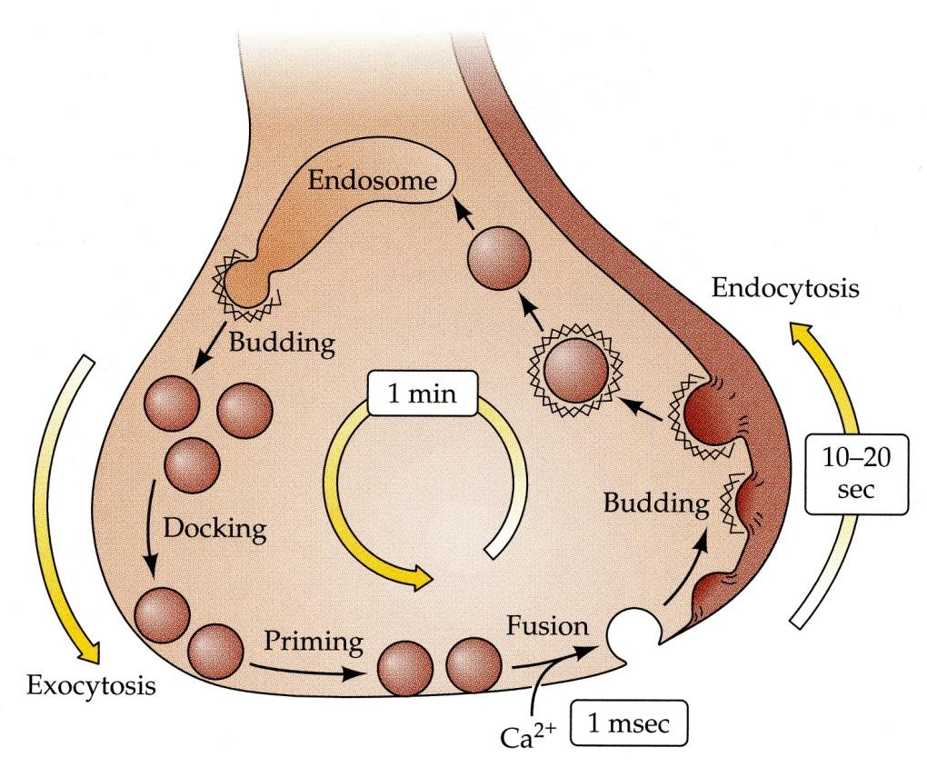 Neurotransmitter Release Vesicle membrane is removed from the cell membrane and