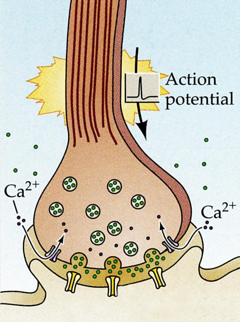 Neurotransmitter Release Neurotransmitter released from vesicles diffuses across the 20-50