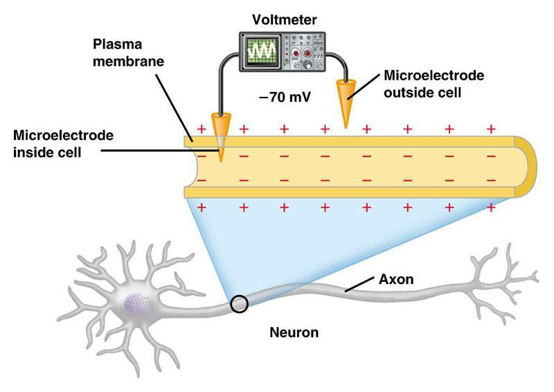 C11.3 explain the transmission of a nerve impulse through a neuron, using the following terms: resting and action potential depolarization and repolarization refractory period sodium and potassium