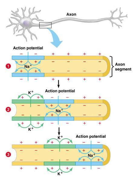 This diagram shows how the action potential spreads down the neuron: Fig 28.5 Activity: Nerve Signals: Action Potentials (28.