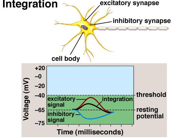 Integration: What determines whether or not the post-synaptic cell will develop an action potential?