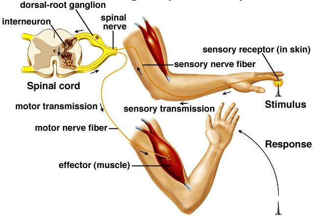 C11.8 describe the structure of a reflex arc (receptor, sensory neuron, interneuron, motor neuron, and effector) and relate its structure to how
