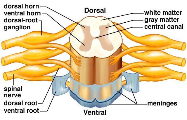 What are the meninges? http://faculty.une.