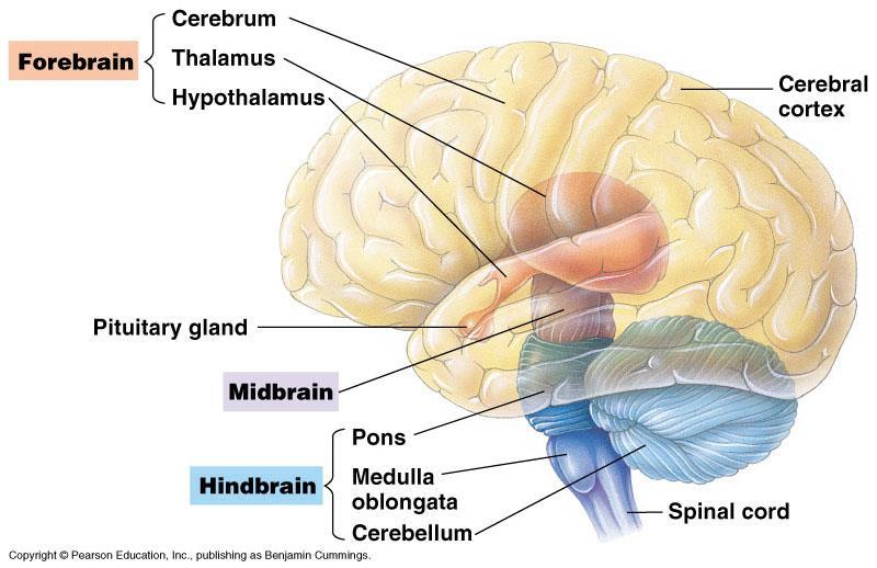 C12.2 identify and give functions for each of the following parts of the brain: medulla oblongata cerebrum thalamus cerebellum hypothalamus pituitary gland corpus callosum meninges http://faculty.une.
