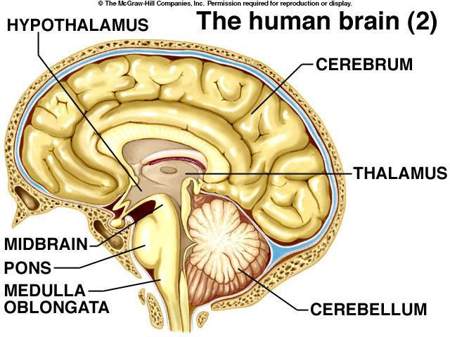 pituitary - involved in osmoregulation, contractions of uterus, control of sexual cycles, milk production, control of thyroid gland, etc.