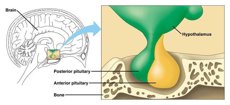 C12.3 explain how the hypothalamus and pituitary gland interact as the neuroendocrine control centre This diagram shows where the hypothalamus and pituitary gland are located in your head: Posterior