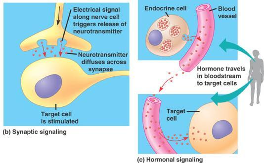 Both nervous and hormonal message systems use chemicals to communicate between cells.