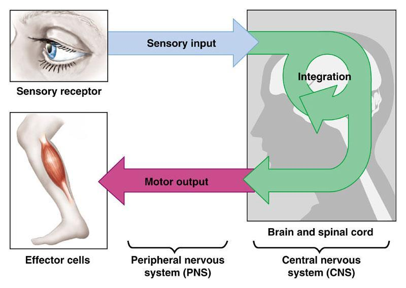 from the CNS towards the effectors (muscles and glands).