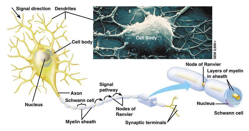 C11.1 identify and give functions for each of the following: dendrite, cell body, axon, axoplasm, and axomembrane Dendrite: Branched extensions that receive signals from other neurons.