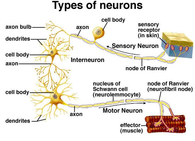 C11.2 differentiate among sensory, motor, and interneurons with