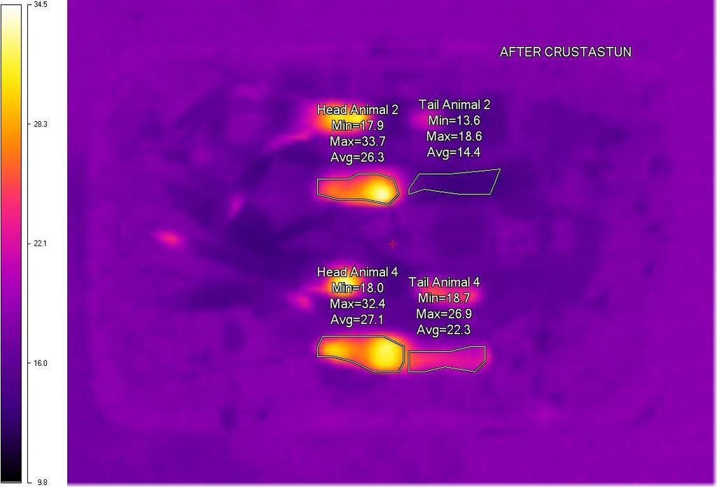 Figure 4. Thermal images of a second group of four langoustines after being killed using the Crustastun machine. In this case there was some change in the temperature of at least two of the tails.