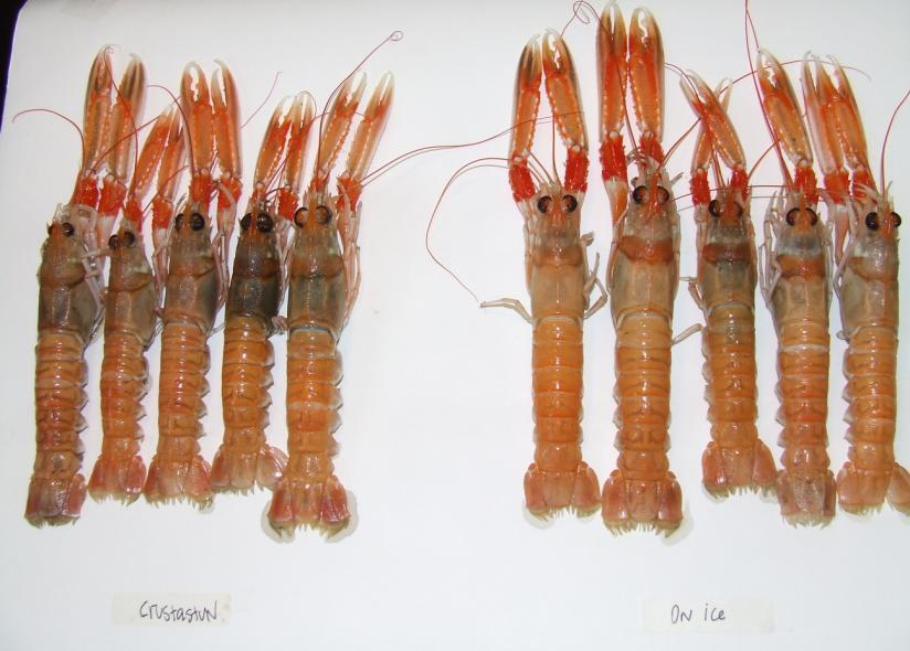 CRUSTASTUN ON ICE Figure 8. Melanosis development in langoustines on Day 3 after being killed using Crustastun (left group) or ice (right group).