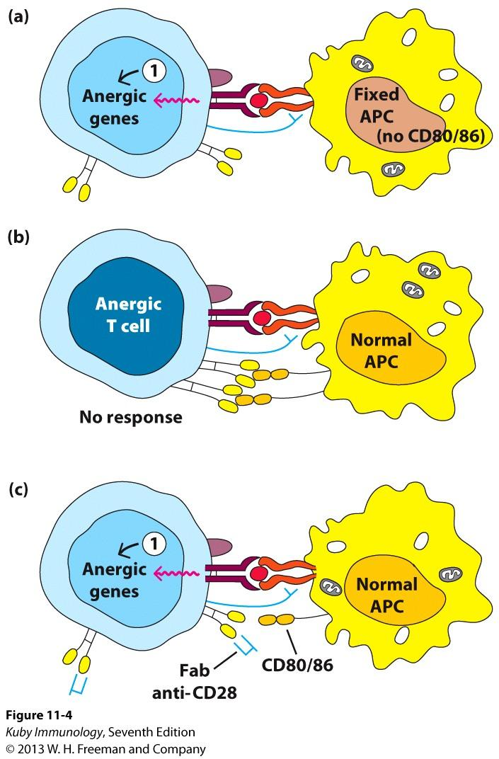 Absence of Costimulation Leads to Clonal Anergy, Which Ensures