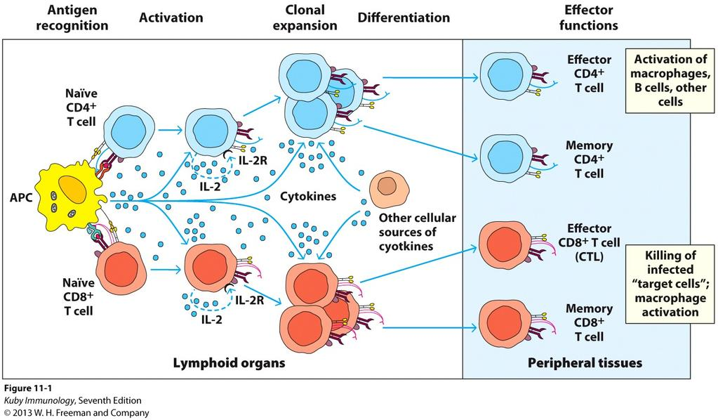 Summary: T Cell