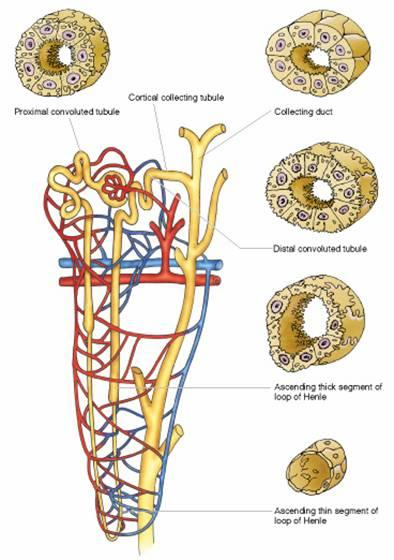Proximal tubule proximal convoluted tubule thick descending limb Henle s loop Henle s loop thin descending & ascending