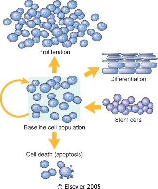Cell populations size is determined by rate of proliferation, Differentiation, and death by apoptosis Figure 3-1 Terminally differentiated cells not capable of replication 1. myocytes 2.