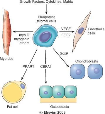 Figure 3-6 Adult stem cells reside permanently in most organs: 1.