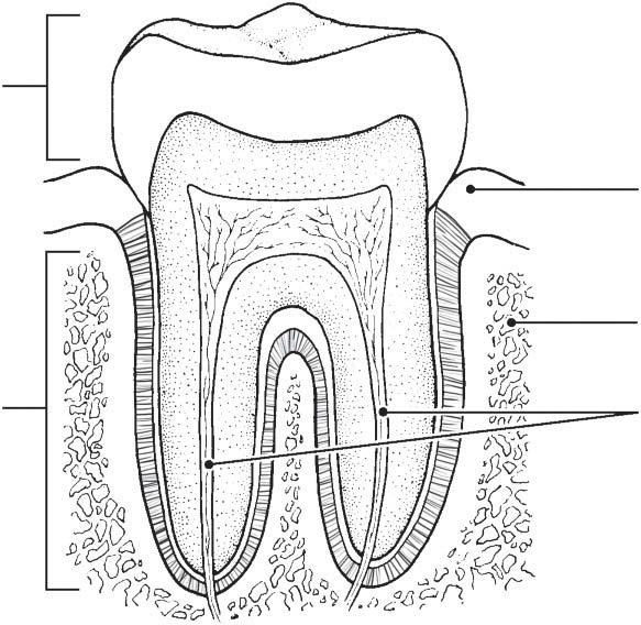 290 Anatomy & Physiology Coloring Workbook 13. Figure 14 8 illustrates the longitudinal section of a tooth. (A) Identify the crown, gingiva, and root of the tooth (leader lines).