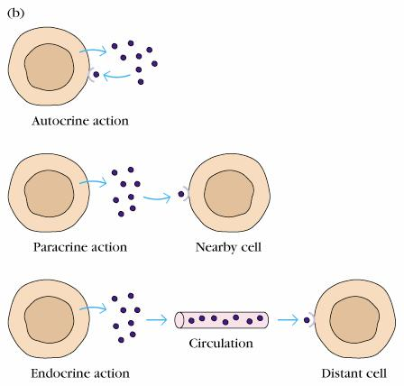 Cytokines can act in an