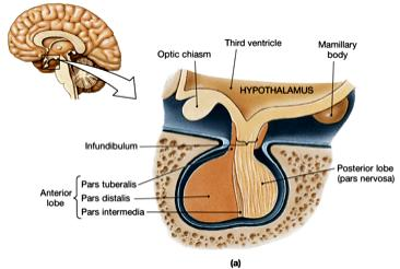 aka hypophysis Located in sella turcica Infundibulm connects to hypothalamus Master gland of the endocrine system 2 parts Posterior pituitary = neurohypophysis Anterior pituitary = adenohypophysis