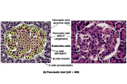 Islets of Langerhans The Pancreas Alpha cells secrete glucagon Targets liver, adipose tissues Effect - increase