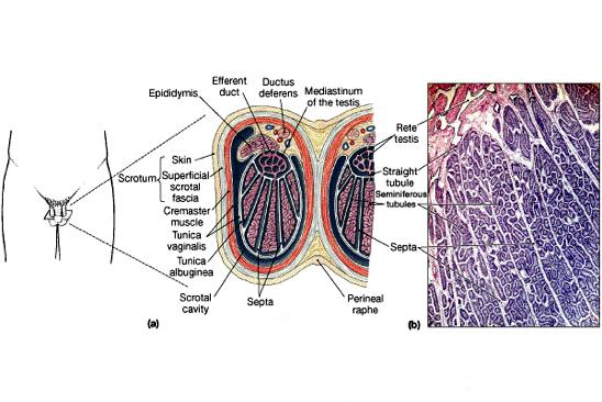 Pineal Gland The Testes Divided into internal compartments containing seminiferous tubules