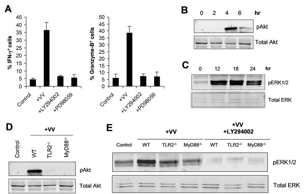 Figure 8. TLR2-dependent activation of NK cells by VV is mediated by PI3K and ERK.