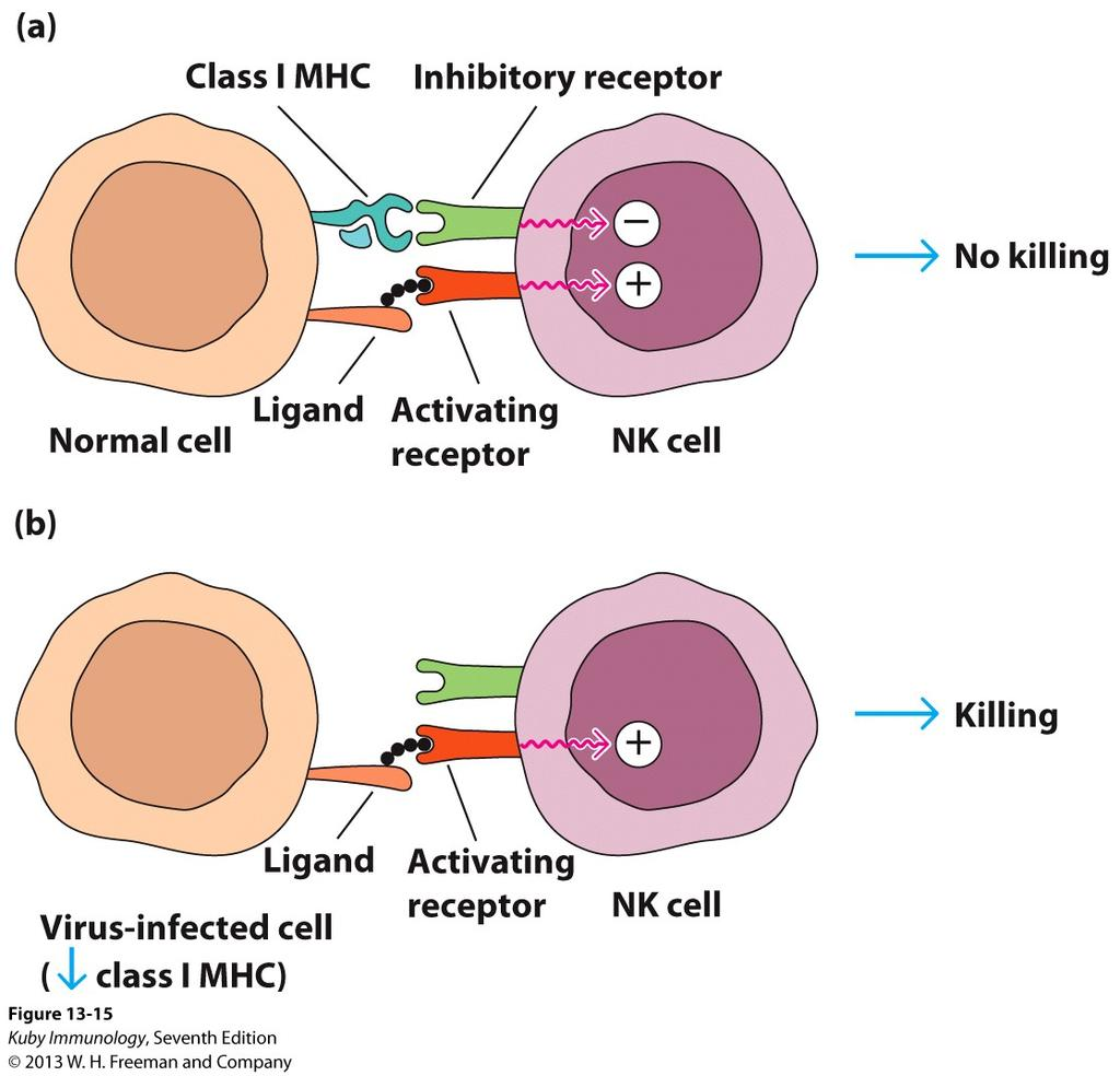 Model for NK Recognition and Lysis of Target Cells: Opposing-Signals Model AR engage ligands on target cell surfaces activation can be