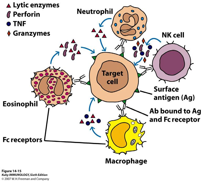 Antibody-Dependent Cellular Cytotoxicity - NK cells, monocytes/macrophages, neutrophils and eosinophils express Fc receptors reactive with the