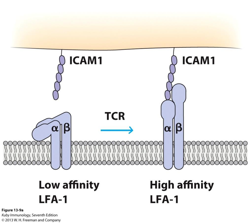 Early Stages of the CTL-Target Interaction: TCR Activation