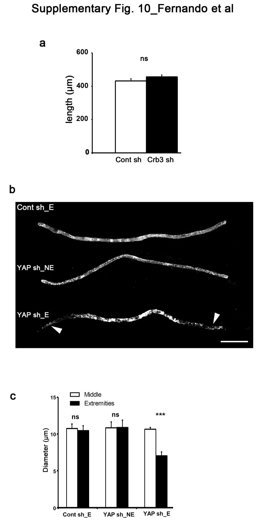 Supplementary Figure 10 Crb3 silencing in adult mice does not increase myelin length and YAP-silenced mscs do not elongate in artificially extended nerve (a) In adult mice (11-13 weeks old) mscs