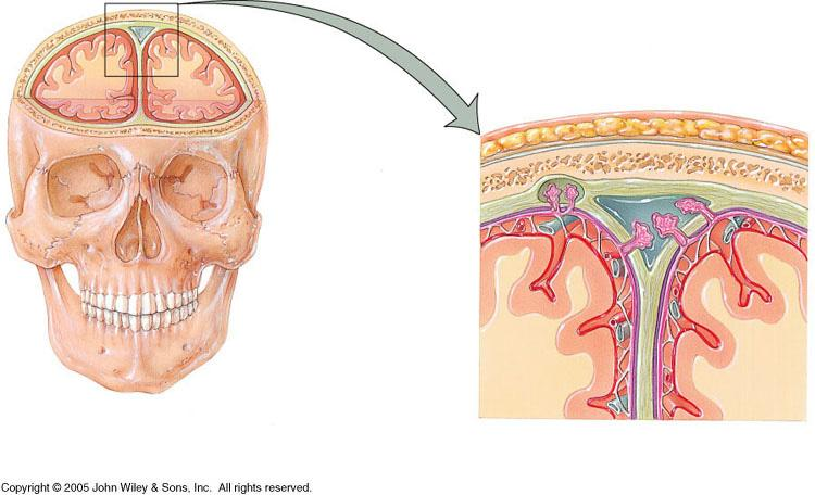 VII. Protection of the Brain A. Meninges 1. dura mater a. layers i. periosteal layer ii. meningeal layer b.