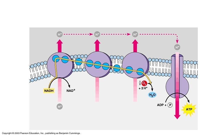 The electron transport chain In the electron transport chain, the carrier molecules NADH and FADH 2 gives up electrons that pass through a series of reactions.