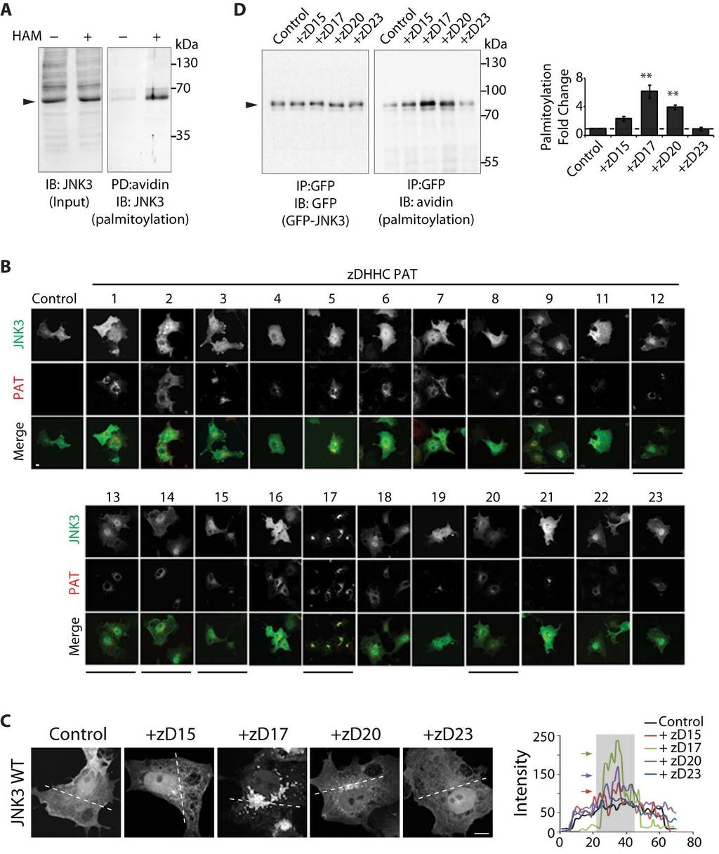Supplementary Materials Fig. S1. Subcellular localization of JNK3 induced by PATs.