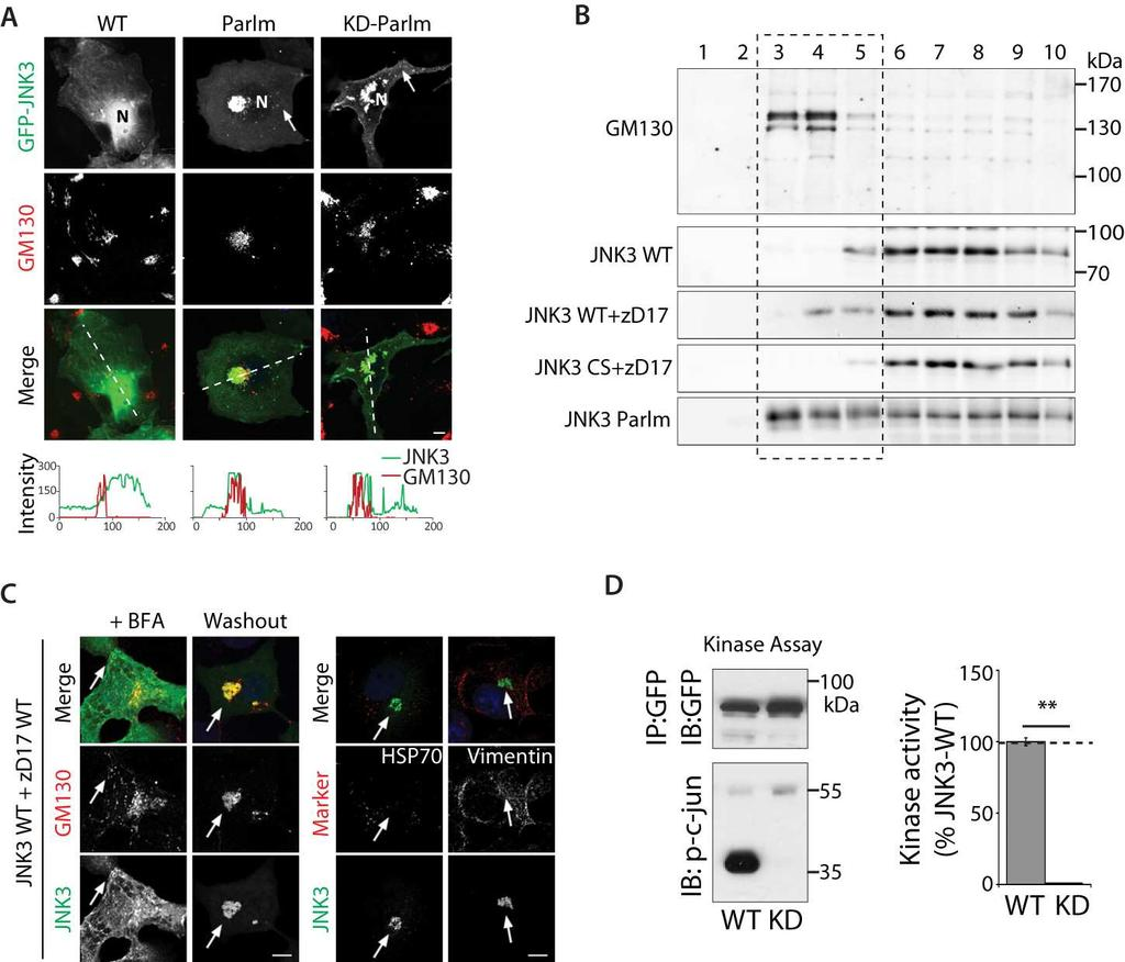 Fig. S2. Kinase activity independent localization of JNK3 to the Golgi complex.