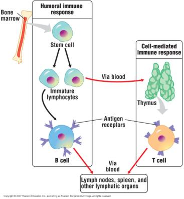Maturation of B cells and T cells During maturation, T cells and B cells become immunocompetent and acquire distinctive surface proteins Some function as antigen receptors, proteins that recognize