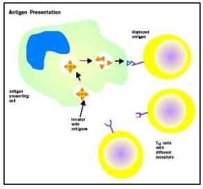 "Each T H cell has a different receptor, allowing it to recognize a different antigen. The APC ""shows"" the antigen to the T H cells until there is a match between a T H cell receptor and the antigen."