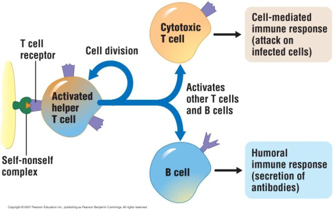 T cells Respond to pathogens that have already entered body cells Cell-mediated immune response Two main types of T