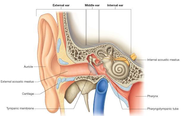 The Ear The ear consists of : 1-THE EXTERNAL