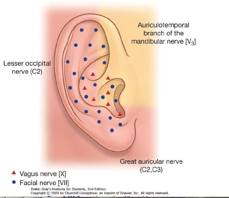 Great auricular nerve: the lower ½ of both inner and outer