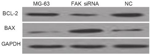 Early apoptosis analysis was performed by flow cytometry after staining with Annexin V FITC/PI.