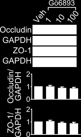 Caco-2Bbe1 cells were treated with Gö6893 for 24 h in the