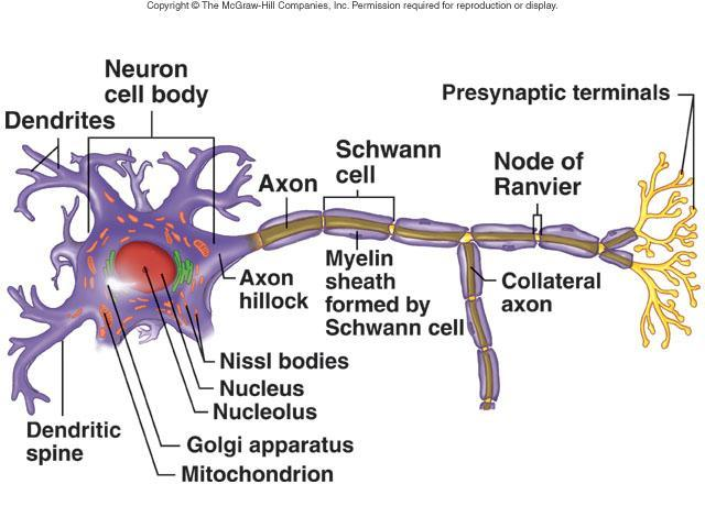 Cells of Nervous System Neurons or nerve cells Receive stimuli and transmit action potentials