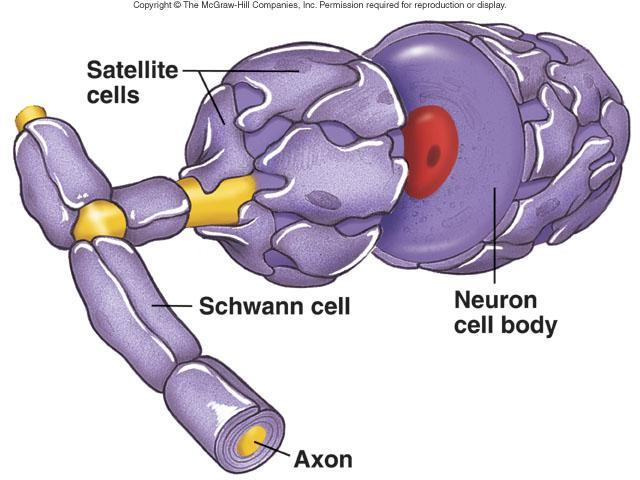 axon to form myelin sheath Satellite cells