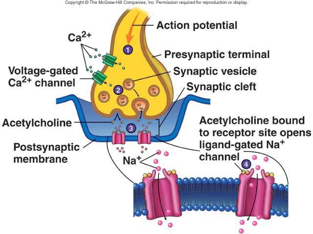 Chemical Synapses Components Presynaptic terminal Synaptic cleft Postsynaptic membrane Neurotransmitters released by