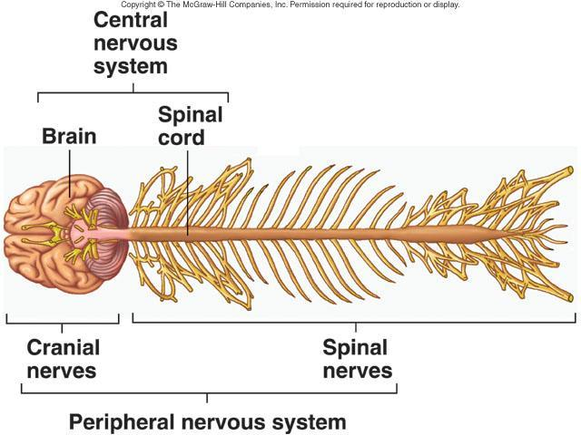 Central Nervous System Consists of Brain Located in cranial vault of skull Spinal cord
