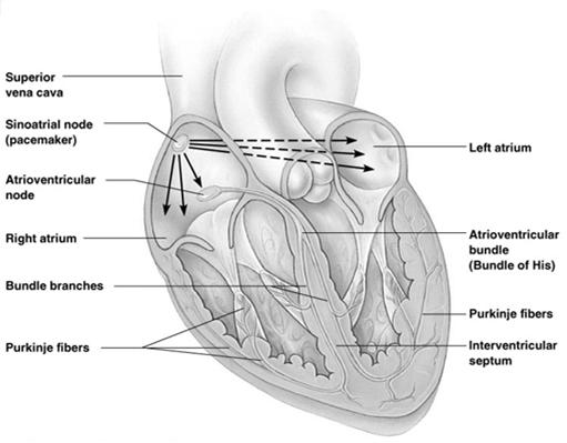 Parts of Conduction System Atrioventricular bundle AV bundle Located in interventricular septum Passes wave impulse to Right & Left Bundle branches Located in interventricular septum Pass wave