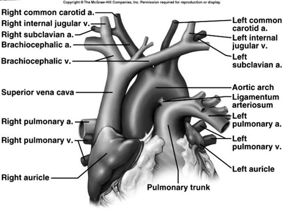 Vessels of Arterial System Ascending aorta 1 st part leaving heart Aortic arch curved area w/other arteries Brachiocephalic artery carries blood to R. arm & R.