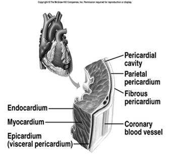 Heart Wall 3 layers Epicardium Outermost layer of heart Visceral pericardium Myocardium Middle layer Cardiac muscle Endocardium _ Heart Chambers Right & left side act as separate pumps 4 chambers