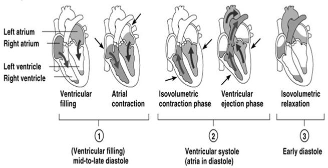 Cardiac Cycle The myocardial contractions (systolic & diastolic) that makes up a complete heart beat.